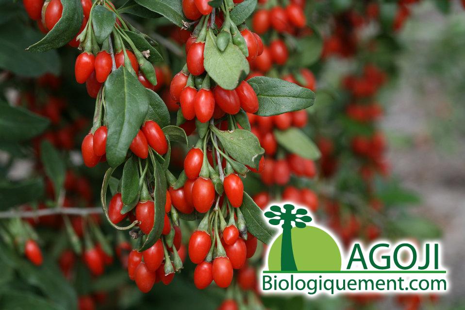 botanique du goji bio baies de goji bio fruit bio. Black Bedroom Furniture Sets. Home Design Ideas