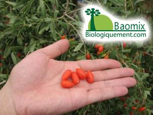 Baies de goji fraîches cultivées sans pesticides sur les terres du Ningxia